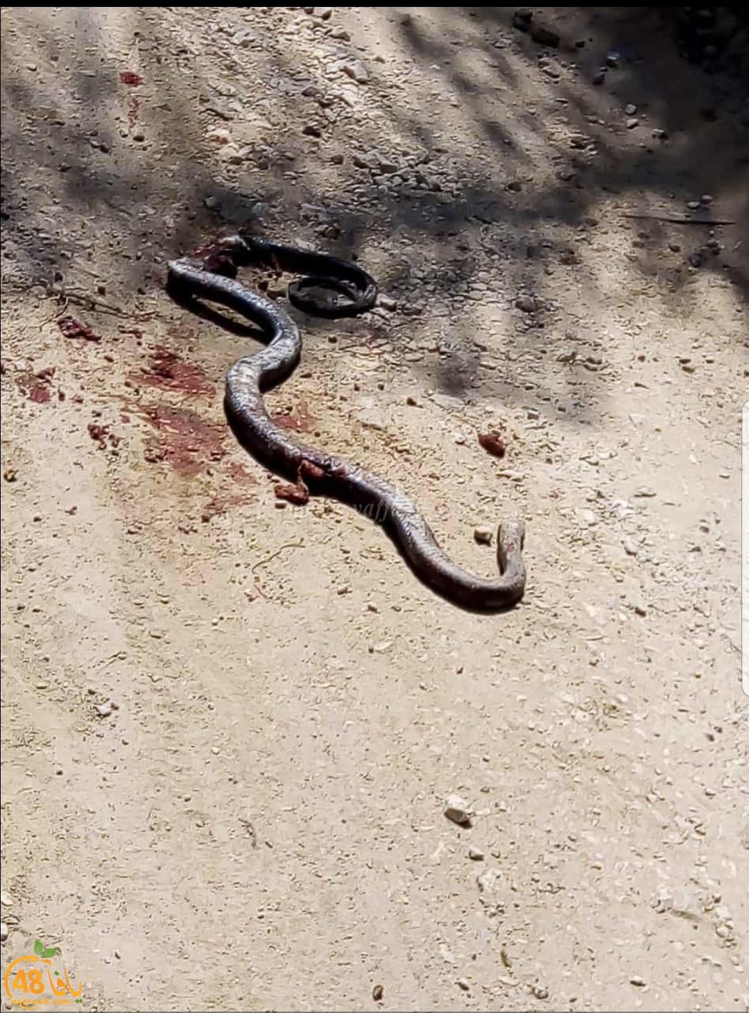 صور: العثور على ثعبان طوله تجاوز المتر ونصف في حي شنير باللد