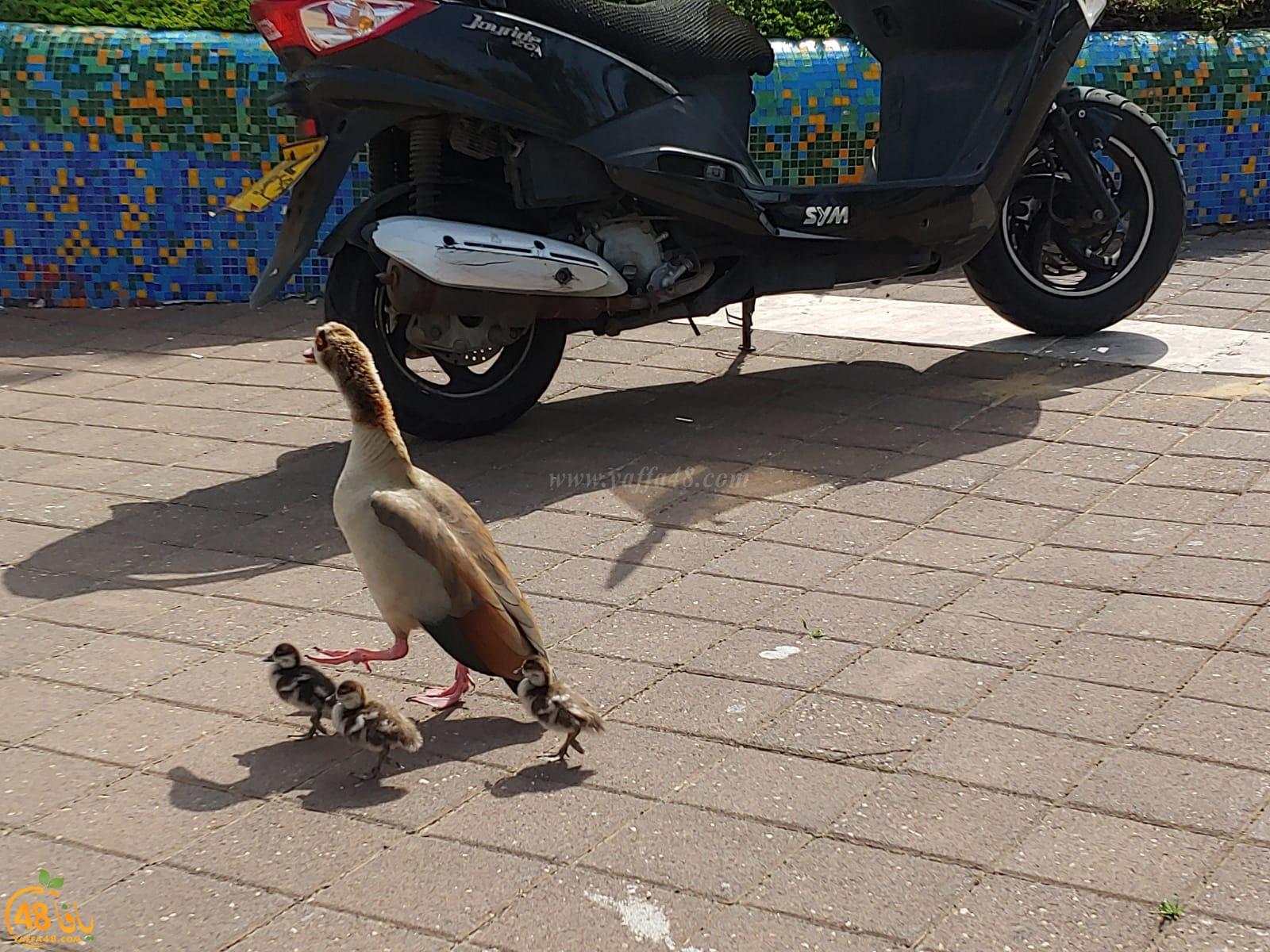 صورتي الأجمل - مجموعة من طيور الأوز تقطع الشارع بتل ابيب
