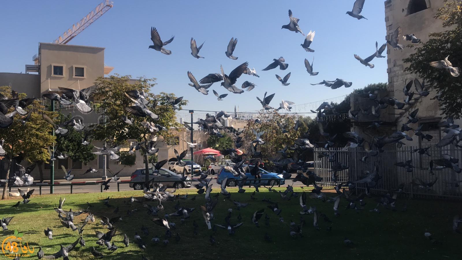 شاهد: لقطات رائعة لطيور الحمام في مدينة يافا