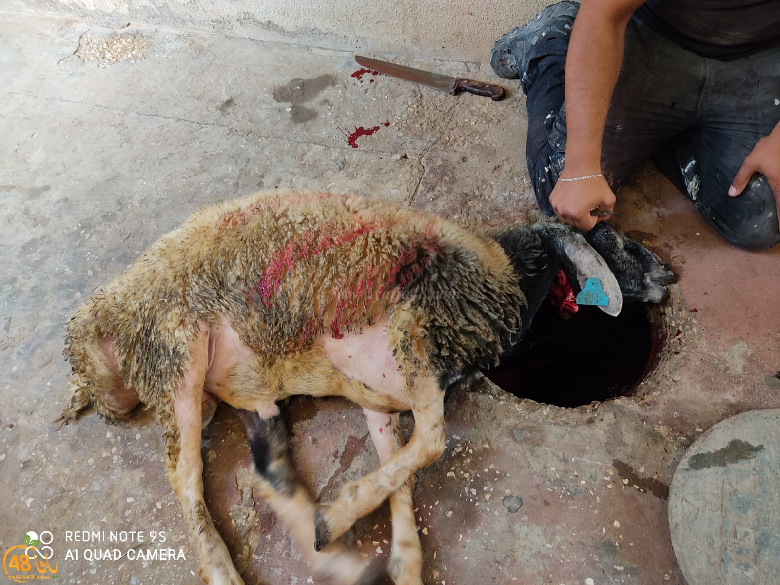 بالصور: أجواء عيد الأضحى المبارك وذبح الأضاحي في يافا، اللد والرملة