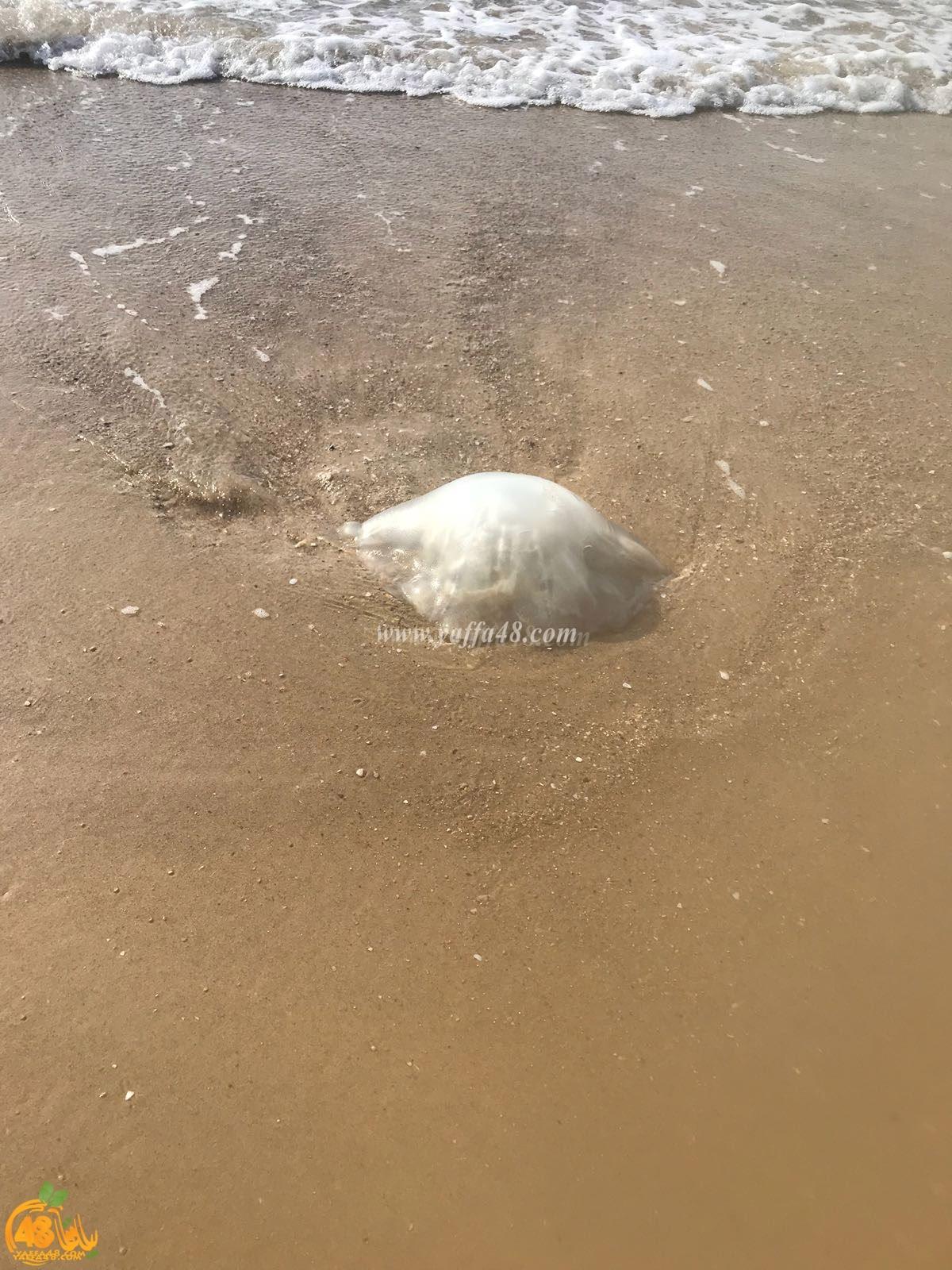 بالصور: زيارة مبكرّة لقناديل البحر إلى شواطئ مدينة يافا