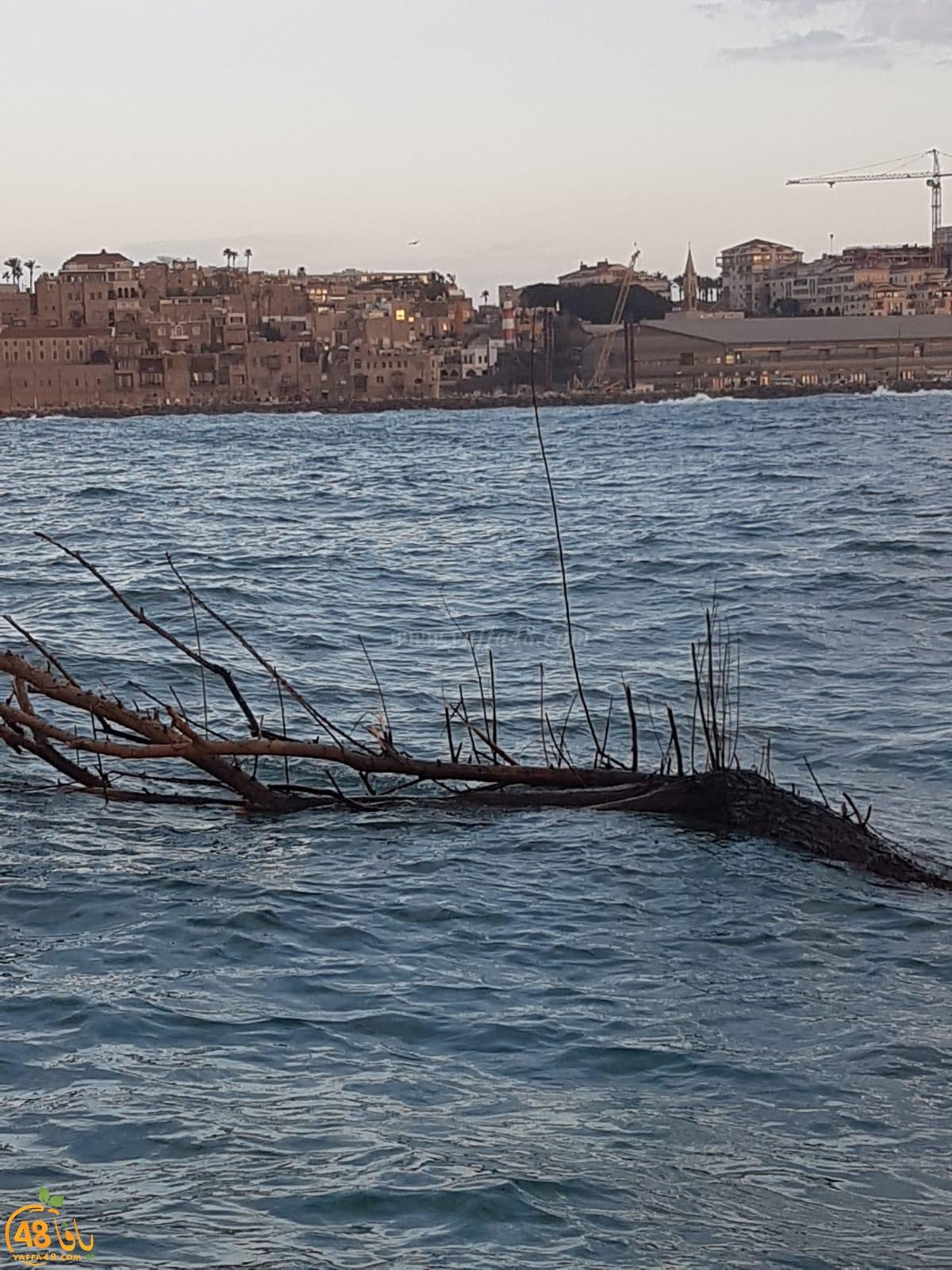 بالصور: العاصفة الأخيرة تجرّف شجرة ضخمة الى ميناء يافا